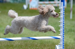 Dog Agility Training