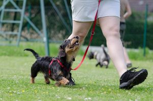 dachshund manners training