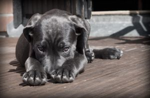 dark grey puppy with head down looking sorry needs private lessons