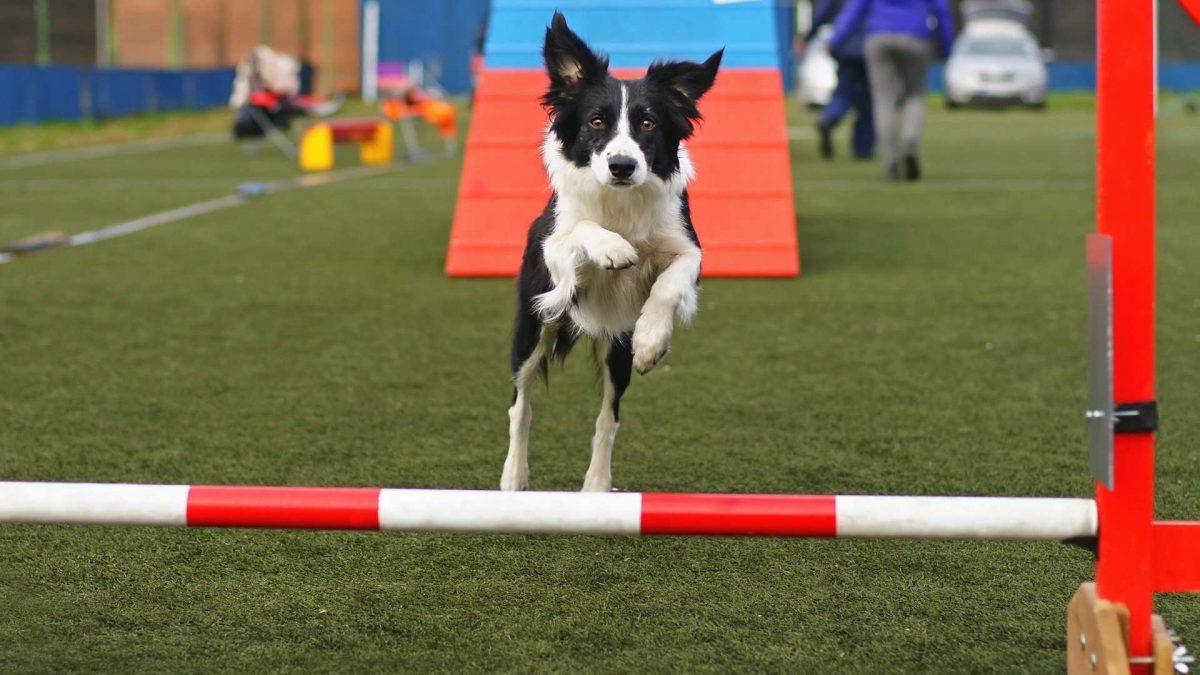 Agility Dog Training Dayton