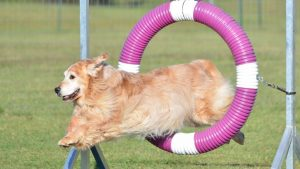 competitive dog training