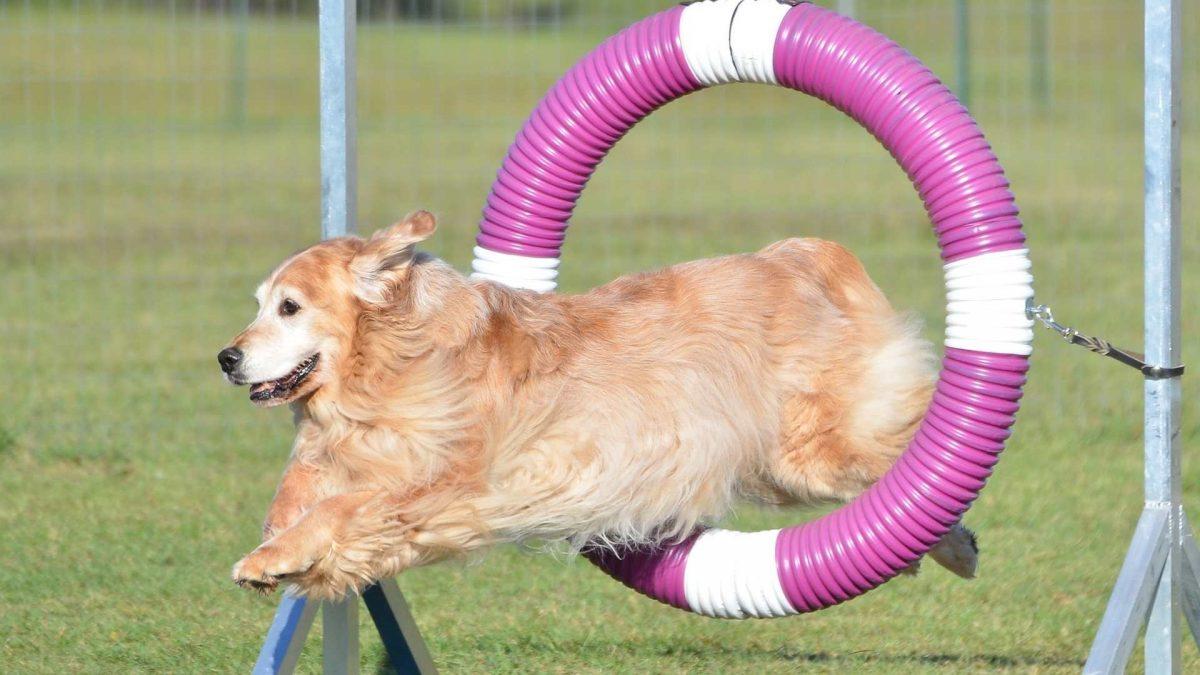 competitive dog training